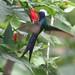 Beija-flor Tesoura  (Eupetomena macroura) - Swallow-tailed hummingbird c. 1950 - 7
