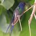 Beija-flor Tesoura  (Eupetomena macroura) - Swallow-tailed Hummingbird - 17-01-2006 - 1499 - 2
