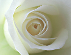 Dream Rose (Gary*) Tags: light white flower macro rose tag3 taggedout ilovenature petals soft tag2 tag1 shade lookatme 1on1 interestingness80 i500