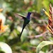 Beija-flor Tesoura (Eupetomena macroura) - Swallow-tailed Hummingbird 009 - 4