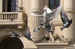 Flying in Lima (sterestherster) Tags: bird peru animal lima pigeons ave esther palomas vogel duiven tbg favperu1 thebiggestgroup