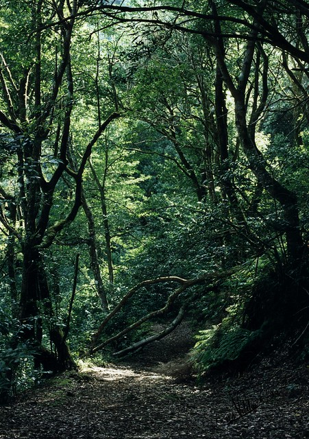 Laurisilva forest (1999)