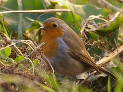 bird robin rougegorge