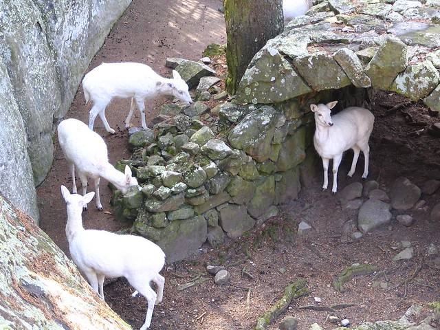 Rock City's White Deer