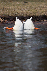 Bottoms' Up, Pekin Ducks! (Leviathor) Tags: two food orange chien white bird feet nature water grass topv111 wisconsin outdoors duck interestingness cool pond waves underwater wildlife pair hunting 123 321 aves fv5 du utata villa bottoms land fv10 ripples prairie sanctuary webbed bottomsup scavenging webbedfeet pekin villalouis pekinduck 123nature mireasrealm interestingness53 i500 26march2006 prairieduchienwisconsin anasplatyrhynchosdomestica anaspeking