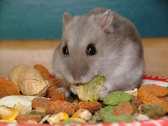 Russian Dwarfhamster eating