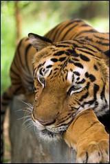 aaaraam se... !!! (Anoop Anand A) Tags: bravo wildlife tiger 3a safari bannerghatta canoneos350d anoop aaa tamron90mmf28macro specanimal animalkingdomelite abigfave kkfav anoopaa anoopananda anoopco wwwanoopco httpwwwanoopco