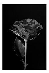 366 - Image 345 - B&W Rose... (Gary Neville) Tags: 365 365images 366 366images photoaday 2016 sonycybershotrx100 sony sonycybershotrx100v sonyrx100v rx100 rx100v v mk5 garyneville