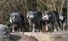 THE PACK (babsbaron) Tags: specanimal wolf wölfe pack predator animal tiere nature