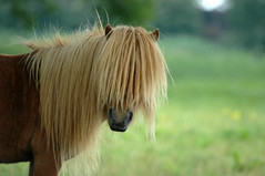 Valderrama (Feathers McGraw) Tags: horse brown haircut nature animal animals hair ilovenature caballo cheval caballos interestingness fantastic beige topf50 nikond70 farm natuur pony 500v50f 500plus20 groovy pferd badhairday zwolle paard haar valderrama feathersmcgraw  specanimal