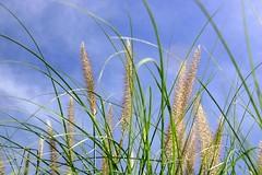 Looking Up (redmann) Tags: travel sky ontario canada grass topv111 garden niagarafalls interestingness 100v10f upward ilikegrass ultimateshot