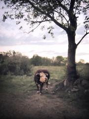 Forlorn Moo-Cow (eastofnorth) Tags: 15fav brown blur nature digital 510fav photoshop canon ilovenature katrina cow beige findleastinteresting glow farm auction nj desaturated local kra052 eastofnorth sd20 110fav sussexcounty portjess sl2006