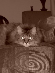 Nick Laying On Back Of Chair (mightyquinninwky) Tags: aug nick cat cute sepia couch livingroom fontaineroad fayettecountyky lexingtonky