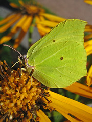 sitruunaperhonen2 (Marko_K) Tags: tag3 taggedout butterfly wonder ilovenature tag2 tag1 top20wings insects brimstone favewings