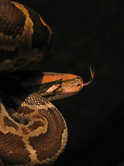 Indian Python (Captain Suresh Sharma) Tags: red baby brown india nature fauna garden skin snake wildlife fat scales environment heavy snakes ecological ecosystem flickering macrolens constrictor scaly snakesofindia