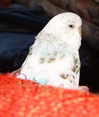 S3700005 (roobarbs) Tags: sylvester budgie bird