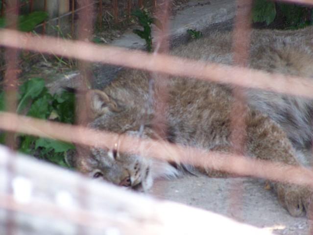 It's a Lynx