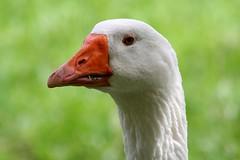 blue eyes (Blackwings) Tags: goose nature portrait ilovenature animal fauna closeup close 15fav photowalk