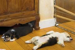 Sleeping Corgis (jauderho) Tags: california usa dog 20d topv111 corgi topv555 topv333 flickr topv1111 topv999 100v10f topv777 sananselmo jauderho