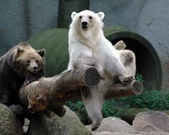 Hanging loose (powerbook.blog) Tags: zoo osnabrck bear bren hangingloose saveme6 deleteme10 topv111 topv222