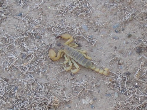 Another scorpion