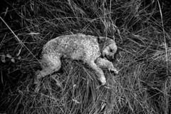The Sleep of Dreams (John Ashburne) Tags: portrait blackandwhite bw dog france monochrome animal blackwhite ashburne  jfajapan johnashburne