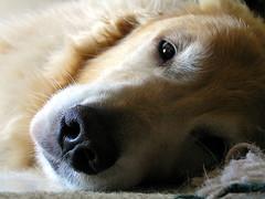 [フリー画像] [動物写真] [哺乳類] [イヌ科] [犬/イヌ] [ゴールデン・レトリバー]      [フリー素材]