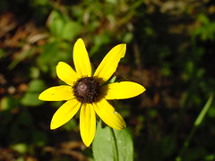 Blackeyed Susan (coveman) Tags: flower blackeyedsusan yellow