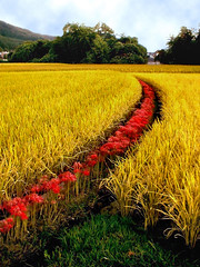 red stripe rice field (Mr.  Mark) Tags: red deleteme6 field yellow japan gold interesting bravo rice savedbythedeletemegroup dinosaur farm topv1111 stripe saveme10 500v50f 500plus20 700 ybp topf700 outstandingshots 3000v120f flickrchallengewinner markboucher 700f