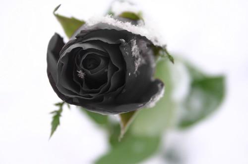 Черная роза для Рейн.  Готический ангел для Коё.