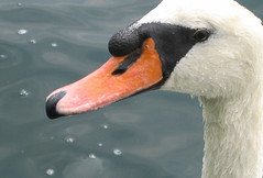 Swan Up Close (Bluepeony) Tags: swan harbour sea ocean white delete delete2 delete3 delete5 delete6 delete7 delete8 delete9 delete10