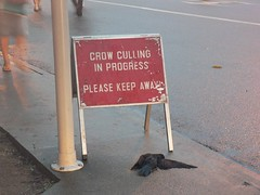 Crow Culling in Tanjong Pagar - 2