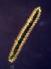 setaria pumila (Antonio Costa) Tags: novideo ilikegrass antoniocosta