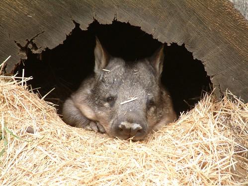 Peekaboo wombat