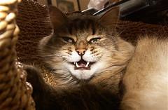 Vampire Cat (mightyquinninwky) Tags: cute halloween cat geotagged scary kitten 10 vampire nick peopleschoice vampirecat halloweencontest gattigattinigattoni 1on1petsphotooftheday ggghall slideshowggghall beyondexcellence 1on1petsphotoofthedayapril2007 geo:lat=380285 geo:lon=84488302