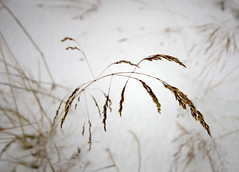 standing upright (hkvam) Tags: grass grasses straw straws snow snowy sleet blizzard winter white cold frost freezing iceland niceland ilikegrass