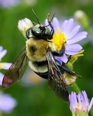 ATL Atlanta Botanical Garden 9-25-05 (HamWithCam) Tags: flower macro closeup 50mm purple atl hamwithcam bee abg rps atlantabotanicalgarden best10 oneofmybest