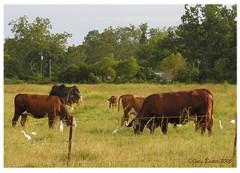 Cows, Calves, and Birds in Cecil (Old Shoe Woman) Tags: usa georgia southgeorgia dilosep05 cows birds cowbirds pasture cecil photoshop dilosept05