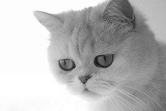Lua portrait (_Xti_) Tags: gato gatos cat cats gatosexoticos gatoexotico exoticcat exoticcats lua ling katzen gatto gatti kätzchen méo kitty furry cutecat feline felines exotic persian gata gatas chat silver golden sorthair pet pets eyes kaz ket mau exoticsorthair fantastic