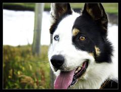 Orange & Blue (Iguana Jo) Tags: scotland isleoflewis hebrides callanish scozia dog cane eyes occhi blue azzurro orange arancio