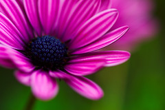 Violet Visions (| HD |) Tags: pink flower detail macro 20d nature up canon interestingness flora dof close purple natural personal violet favorites favourites hd creature favs darwish hamad excellence osteospermum alemdagqualityonlyclub