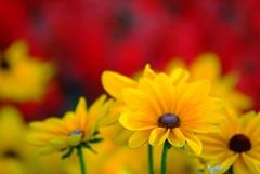 Flowers (Mark Demeny) Tags: flowers topf25 topv111 print geotagged topv555 topv333 dof bokeh topv1111 ottawa topv999 topv777 topv9999 80200mmf28d fujifilmfinepixs3pro mytopf top20bokeh