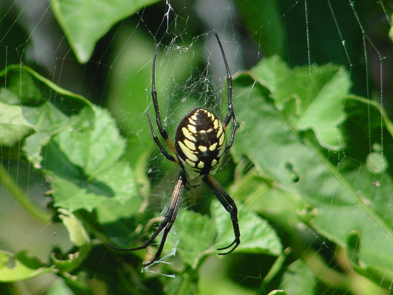 What kind of spider is this? - hawaii bugs | Ask MetaFilter