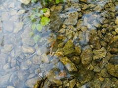 Agua Cristalina en La Fuentona (Soria) (AnaIzq) Tags: agua río ríoabion water river clear clearwater trasparent stong green reflect soria muriel fuentona source beauty nature castillayleon españa spain