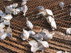 sundried (danielleyoung) Tags: sundried sun dry fish goa small net india south asia food bait sea ocean beach