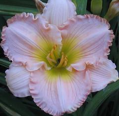 quiet (raspberrytart) Tags: pink white flower macro yellow canon loveit powershota70