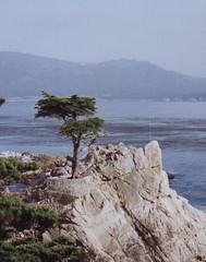 vacation cypress tree pebblebeach
