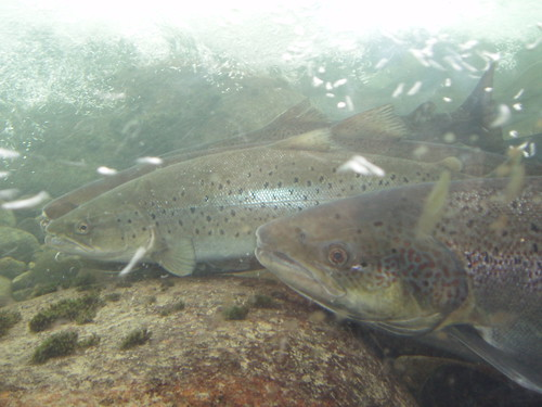 Capturas de salmón en Asturias, Cantabria y Galicia 2012. (30 Julio)