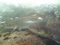 Salmon and sea trout (mrjorgen) Tags: norway norge salmon seatrout laks sogn salmosalar sjøørret sognefjorden lærdal norskvillakssenter norwegianwildsalmoncentre httpwwwnorskvillakssenterno salmotruttatrutta