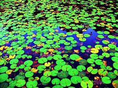 Pac-Man Mob (Creativity+ Timothy K Hamilton) Tags: lake color reflection green water creativity pond saturated 500v20f waterlily lily pad reflect pacman lilypad enhanced 47 colorenhanced tkh 1500v60f 1000v40f timothykhamilton creativityplus tozero